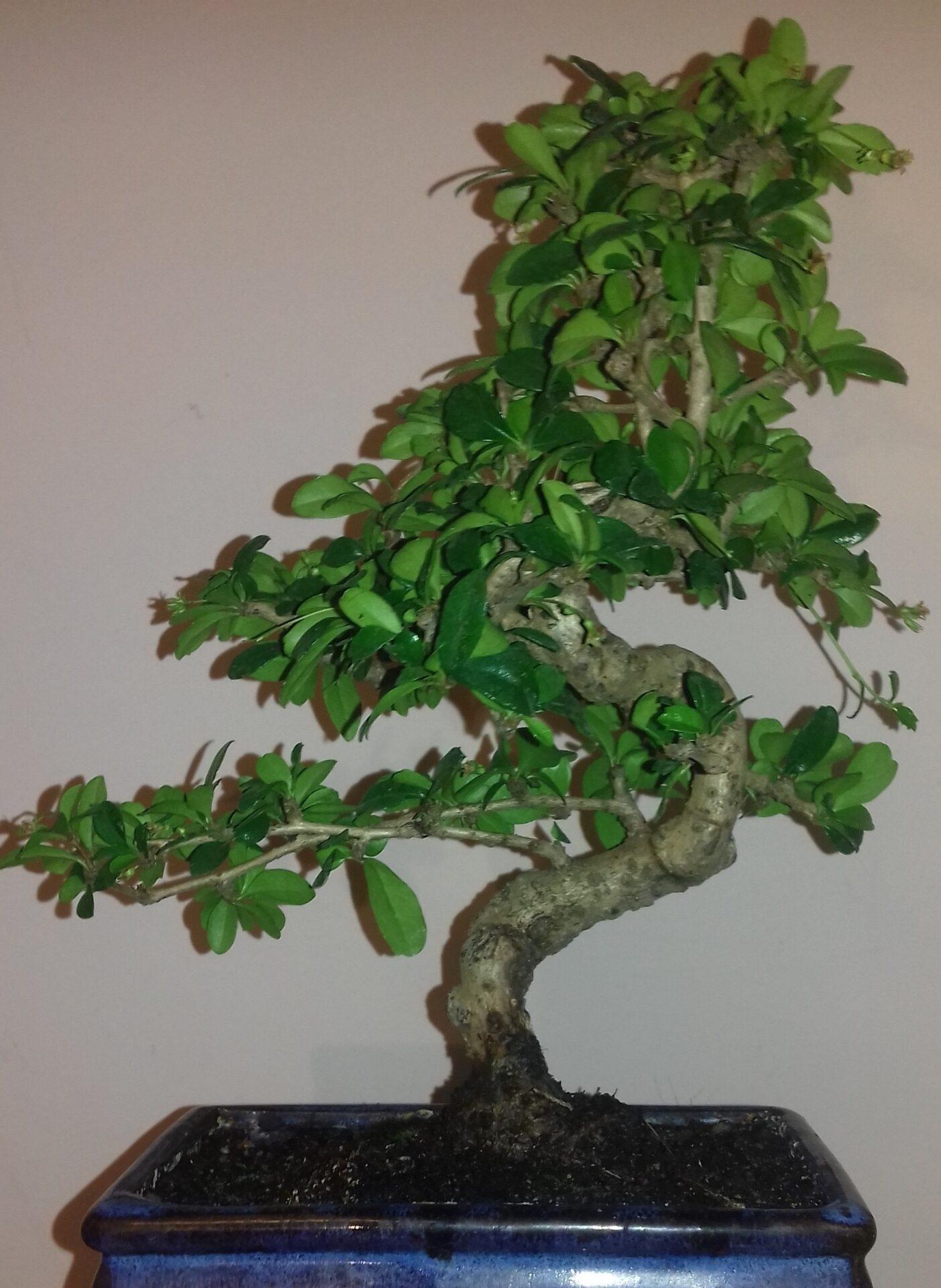 prendersi cura bonsai